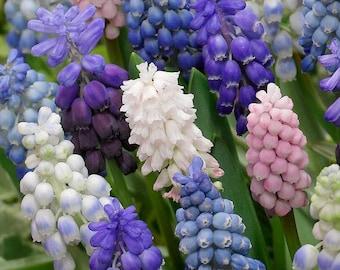 Muscari Festival Blend with Pink Grape Hyacinth  bulbs