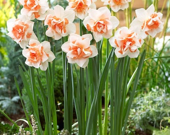 """Daffodil Bulbs - Replete- 5 bulbs -Delightful color with large 4"""" eye-catching flowers. Deer resistant"""