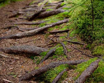 Rooty Forest Trail Fine Art Photograph with Moss and Gnarled Roots