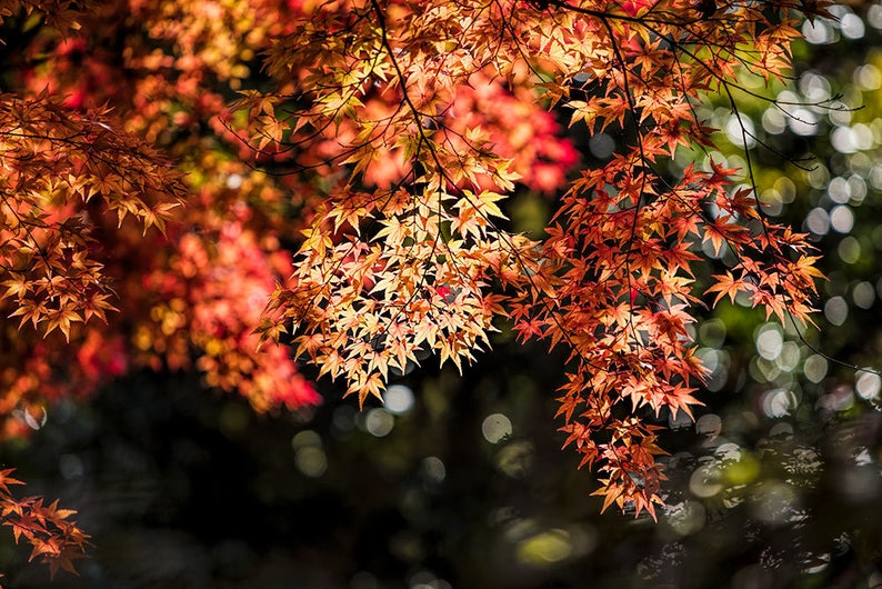 Japanese Maple Autumn Landscape Japan Fall Color Gallery Etsy