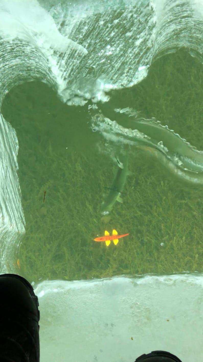 WRRHS Red Horse Sucker Fish Spearing Decoy
