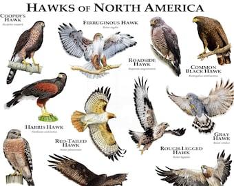 Hawks of North America