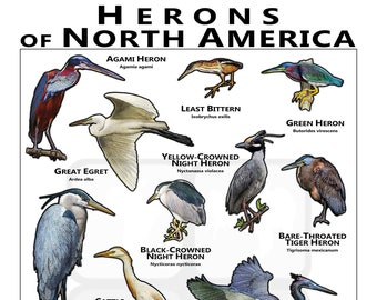 Herons of the North America / Field Guide