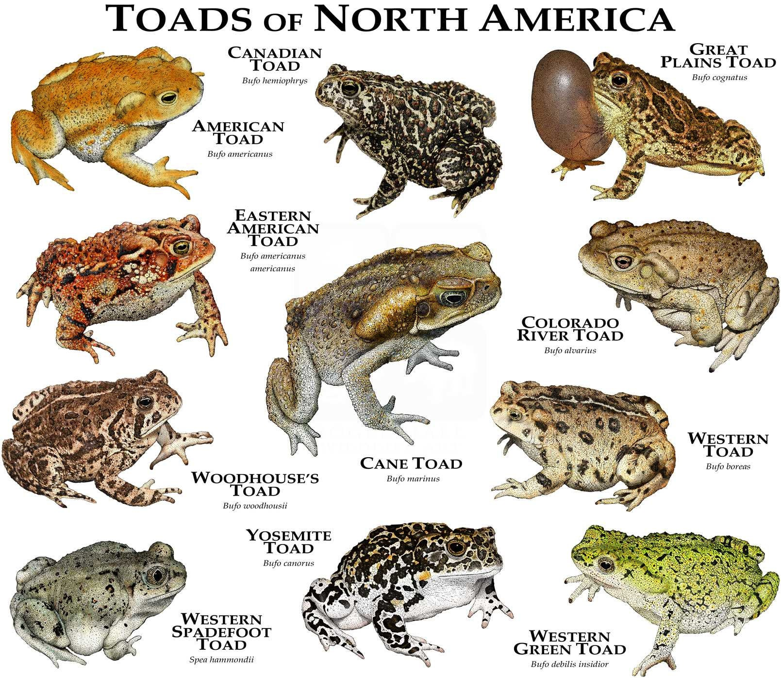 Toads Of North America Etsy