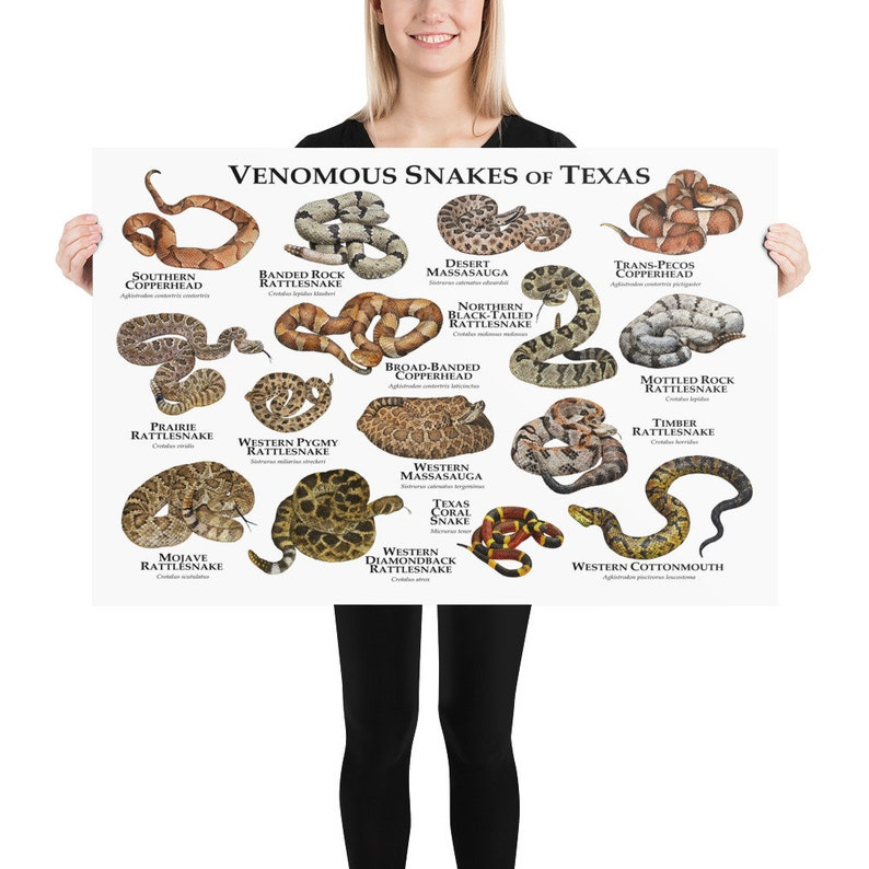 Venomous Snakes of Texas Art Print  Field Guide