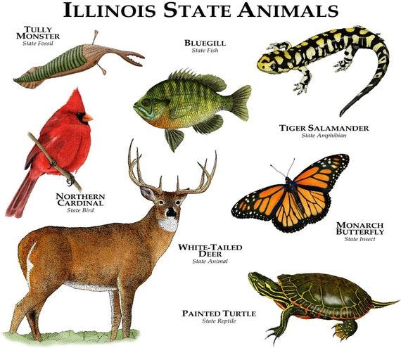 illinois state animals poster print etsy