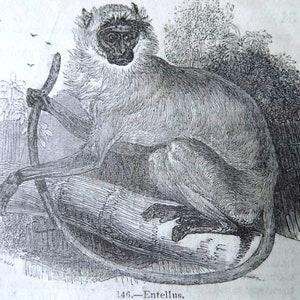 Antique engraving c1845 mounted 8 x 6 ape nature animal original print CHIMPANZEE