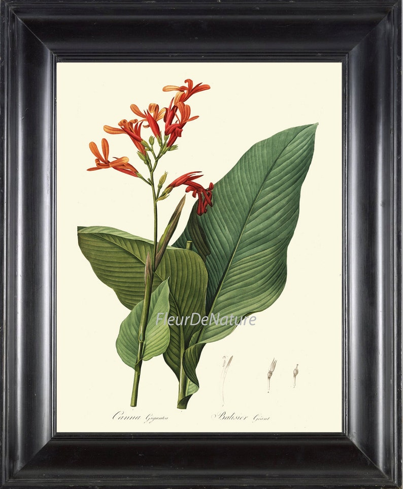 Botanical Print R169 Art Beautiful Orange Red Canna Lily Etsy