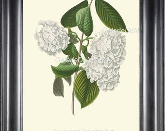 BOTANICAL PRINT Flower Art P9 4x6 5x7 8x10 11x14 Beautiful White Hydrangea Guelders Rose Antique Country Garden Nature Plant Room Home Decor