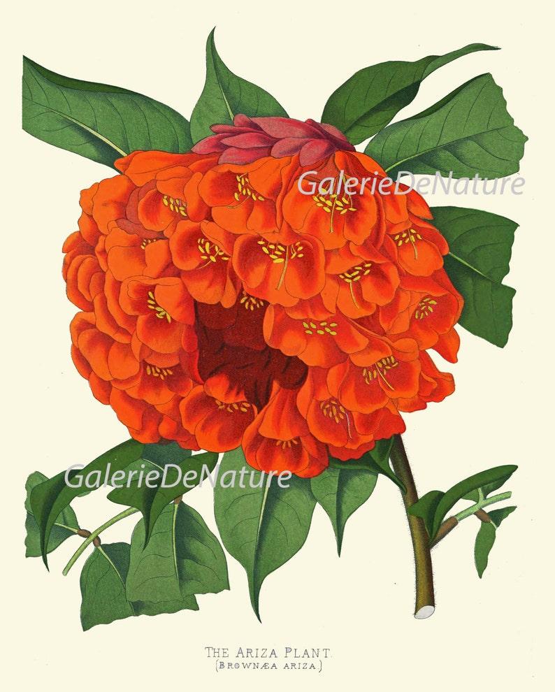 BOTANICAL PRINT Flower Art P30 4x6 5x7 8x10 11x14 Beautiful Antique Large Orange Ariza Flower Tropical Plant Garden Nature Colorful Bright
