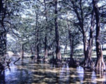 D0268 Cypress Trees Near Wimberley TX June 1972