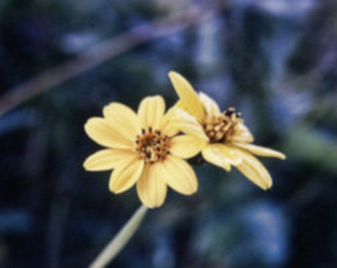 D0158 = Yellow Flower  (May 1972)