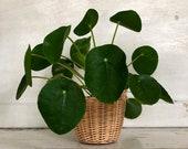 4 quot Pilea Peperomioides Plant, Large Chinese Money Plant, Large Chinese Coin Plant, Rare Plant, Houseplant, Live Plant, Dorm Plant, Succulent