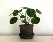 2.5 quot Pilea peperomioides Plant in a Rustic Linen Wrapped Pot with Saucer, Available in Red or Black Clay, Chinese Money Plant, Rare Plant