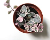 Variegated String of Hearts Plant, Ceropegia Woodii Variegata, Pink String of Hearts, Rare, Pink Houseplant, Hanging Plant, Trailing Plant