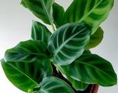 2.5 quot Calathea zebrina, Zebra Plant, Prayer Plant, Mini Plant, Terrarium Plant, Velvet Leaves, Bright Light, Low Light, Houseplant, Easy
