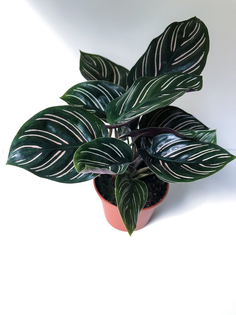 2 5 Or 4 Calathea Ornata Pinstripe Plant Prayer Etsy