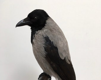 Beautiful taxidermy hooded crow