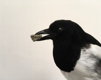 Beautiful taxidermy Magpie
