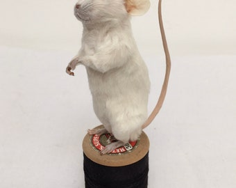 Maxwell mouse - taxidermy mouse