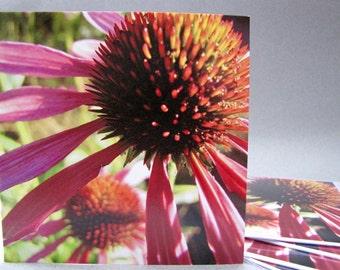 Set of 5 Blank greeting cards Echinacea purpurea botanical photo