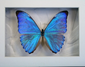Dazzling Blue Morpho Aurora -Real Framed Butterfly