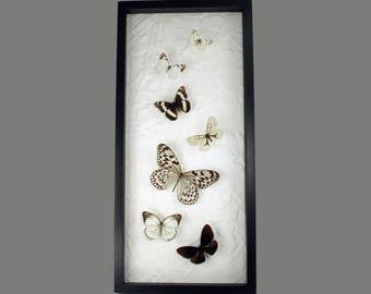 Black & white flight - elegant real framed butterflies