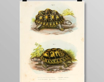 Vintage Turtle Art Turtle Wall Decor Antique Turtles Vintage Lithograph Reptile Print Turtle print Vintage Art Print 372