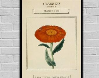 Vintage Flower Art - Marigold - Vintage Botanical Art Print - Floral Print/Canvas -  Botanical Wall Prints 218