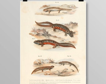 Vintage Crested Newt Art Amphibian Wall Decor Antique Salamander Art Salamander and Newt Lithograph Vintage Amphibian Print 398