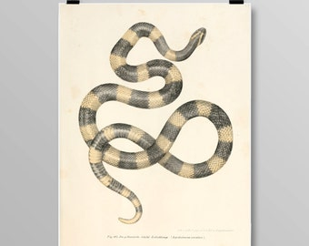 Antique reptile print Reptile poster Snake poster Vintage lithograph Snake print Vintage print 363