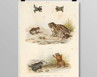 Antique Toad Decor Common Spadefoot Toad Wall Art Antique Frogs and Toads Vintage Lithograph Amphibian Decor Frog print 392
