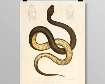 Antique reptile print Reptile poster Vintage Snake Vintage lithograph Snake print Vintage print 343