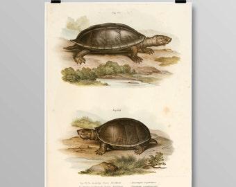 Antique Turtle Decor Turtle Wall Art Antique Turtles Vintage Lithograph Reptile Decor Turtle print Vintage Art Print 377