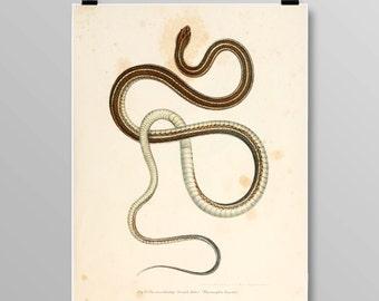 reptile print Vintage Snake art  ribbon snake snake wall decor Vintage Snake Vintage lithograph Snake print Vintage print 352