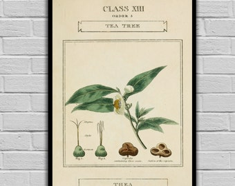 Vintage Botanical Art - Tea Tree - Vintage Botanical Art Print - Floral Print/Canvas -  Botanical Wall Prints 193