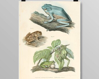 Bicoloured Tree-Frog Lithograph Frog Wall Decor Antique Frogs and Toads Vintage Frog Art Amphibian Print Frog print 385