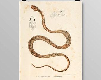 reptile print Vintage Snake art  snake wall art snake wall decor Vintage Snake Vintage lithograph Snake print Vintage print 357