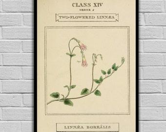 Vintage Botanical Art - Twinflower - Vintage Botanical Art Print - Floral Print/Canvas -  Botanical Wall Prints 198