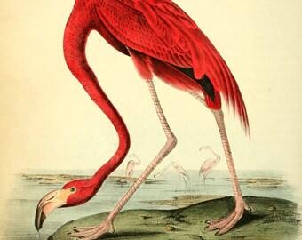 Vintage Flamingo - American Pink Flamingo Bird Print - Giclee Canvas Art Print Poster - Home Decor - Coastal Art - Bird Prints - 021