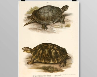 Vintage Turtle Lithograph Turtle Wall Decor Antique Turtles Vintage Turtle Art Reptile Print Turtle print Vintage Art Print 375