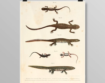 Vintage Amphibian Art Ribbed Newt Wall Decor Antique Salamander Art Salamander and Newt Lithograph Vintage Amphibian Print 395