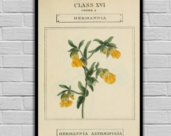 Vintage Flower Art - Hermannia - Vintage Botanical Art Print - Floral Print/Canvas -  Botanical Wall Prints 202