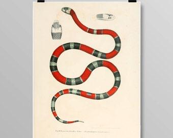 reptile print Vintage Snake art  false coral snake snake wall decor Vintage Snake Vintage lithograph Snake print Vintage print 348