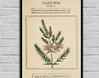 Vintage Flower Art - Thyme Honey-Myrtle - Vintage Botanical Art Print - Floral Print/Canvas -  Botanical Wall Prints 213