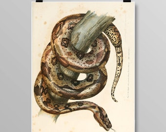 Antique reptile print Reptile poster Boa constrictor Vintage Snake Vintage lithograph Snake print Vintage print 339