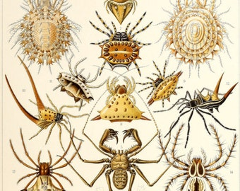 Ernst Haeckel Spider Poster Spider Print Arachnid Scientific Illustration Natural History Art Wall Art Halloween spider art 002