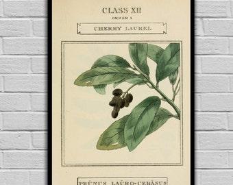 Vintage Botanical Art - Cherry Laurel - Vintage Botanical Art Print - Floral Print/Canvas -  Botanical Wall Prints 189