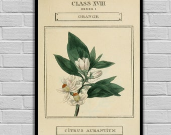 Vintage Flower Art - Orange Blossom - Vintage Botanical Art Print - Floral Print/Canvas -  Botanical Wall Prints 212