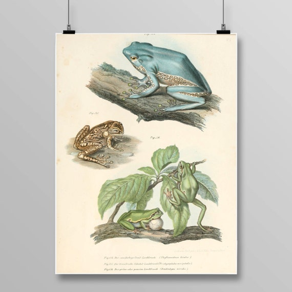 Bicoloured Tree-Frog Lithograph Frog Wall Decor Antique